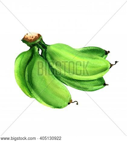 Bunch Of Unripe Baby Green Banana, Raw Cultivated Bananas, Hand Drawn Watercolor Illustration On Whi