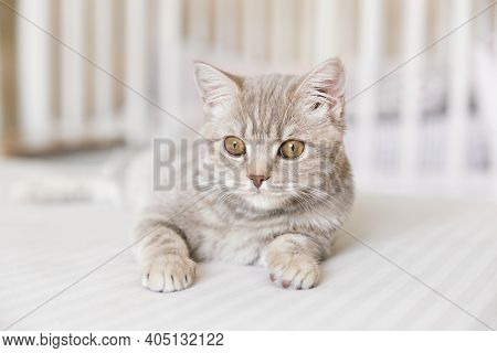 Adorable Scottish Straight Tabby Cat On The White Background.
