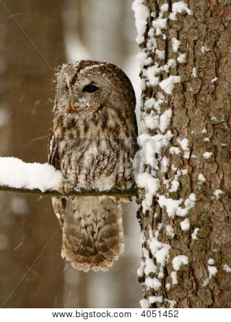 Picture of tawny owl in the forest while snowing poster