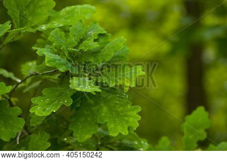 Background With Green Oak Leaves. Fungus-affected Oak Leaves, Diseased Foliage With Spots. Oak Grove
