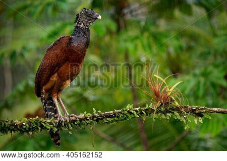 Great Curassow - Crax Rubra Large, Pheasant-like Great Bird From The Neotropical Rainforests, From M