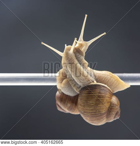 Helix Pomatia. Snails Hang From A Plastic Tube. Romance And Relationships In The Animal Kingdom. Mol