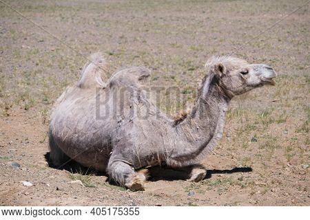 A camel graze in the stone desert of Western Mongolia