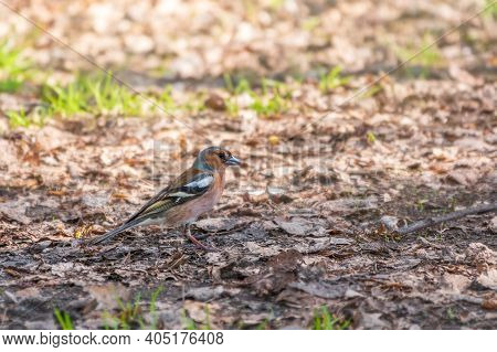 The Common Finch, Fringilla Coelebs, Sits On The Ground In Spring. Beautiful Forest Bird Common Chaf