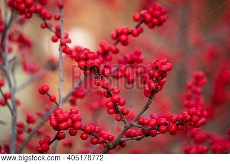 Bright Red Berries Of A Winterberry (ilex Verticillata), A Native Deciduous Holly That Loses Its Lea