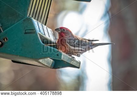 A Male House Finch (haemorhous Mexicanus) Enjoys Some Sunflower Seeds At The Feeder. Raleigh, North
