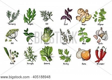 Herbs. . Italian Herb Drawn Black Lines On A White Background. Vector Illustration. Basil, Ginger, O