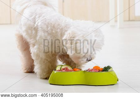 Little dog maltese eating natural, organic food from a bowl at home