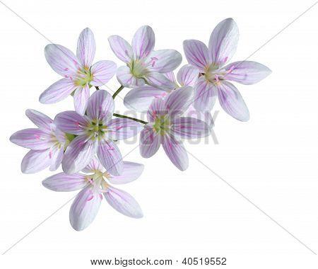 Cardamine Pratensis Flower