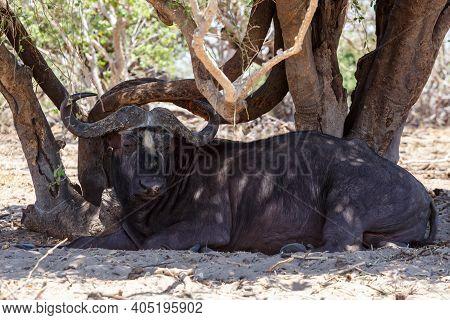 Resting African Cape Buffalo At Shadow, Chobe National Park, Botswana Safari Africa Wildlife
