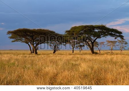 Acacia Tree Group At Sunset