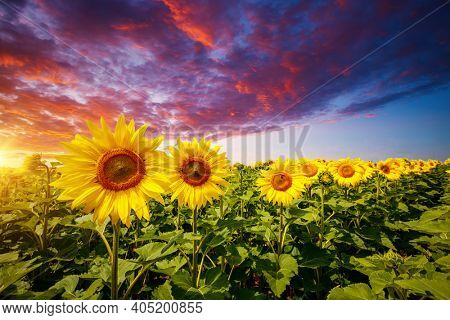 Awesome scene of exotic yellow sunflowers in the evening. Location place Ukraine, Europe. Photo of ecology concept. Agrarian industry. Incredible wallpaper. Image of cultivation land. Beauty of earth.