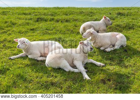 Little Lambs Resting In Green Grass In The Sun On A Dyke At The Wadden Island Texel In The Netherlan
