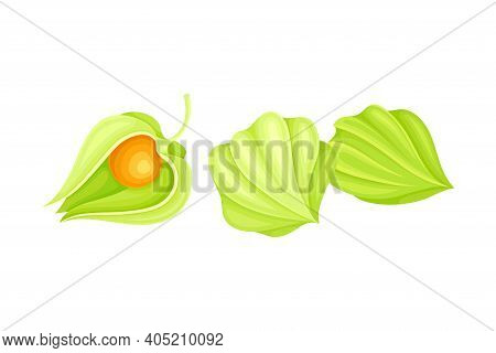 Physalis Or Indian Ginseng Papery Husk Or Calyx Enclosing Small Orange Fruit Vector Illustration