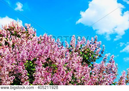 Spring background with spring lilac flowers. Blooming spring lilac flowers against blue sky lit by sunlight. Selective focus on the foreground, spring background, sunny spring lilac flowers, spring landscape