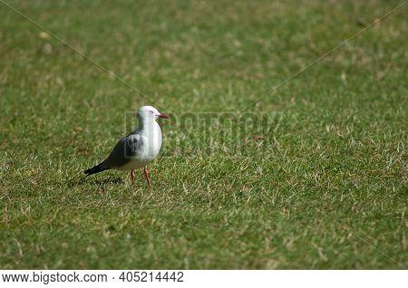 Red-billed Gull Larus Novaehollandiae Scopulinus. Auckland Domain. Auckland. North Island. New Zeala