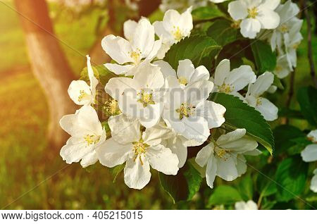 Spring apple flowers in spring blossom lit by soft sunlight, spring apple flower background. Spring apple tree branch blooming in the spring garden, spring flowers of apple tree