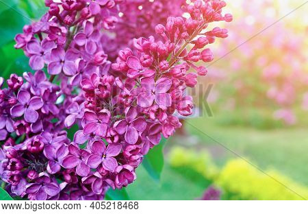 Spring lilac flowers, spring flower background, spring garden. Selective focus at the central lilac flowers, spring lilac, blooming spring lilac flowers. Spring background with blooming lilac