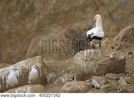 Australasian Gannet Morus Serrator And Red Billed Gulls Chroicocephalus Novaehollandiae Scopulinus.