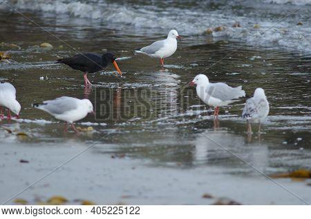 Variable Oystercatcher Haematopus Unicolor And Red-billed Gulls Chroicocephalus Novaehollandiae Scop
