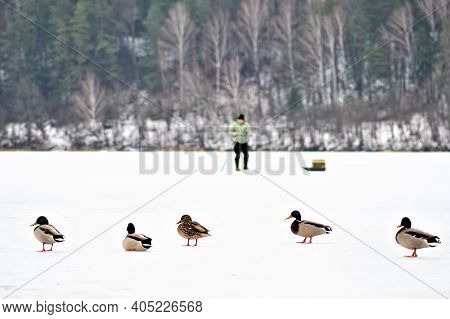 Ducks On The Snow And Fisherman Fishing On A Frozen Lake In Winter With Fishing Pole, Ice Auger And