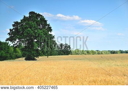 Wheat, Wheat Ears, Wheat Field On A Sunny Day, Dirt Road At The Edge Of The Field, Green Big Tree, B