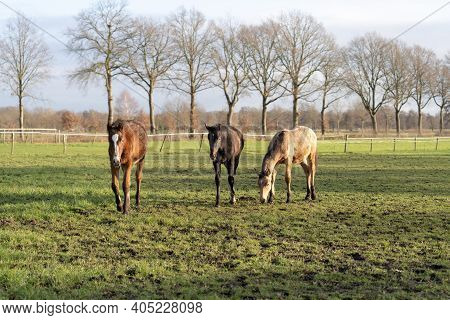 Thoroughbred Horses Grazing In A Green Field In Rural Pastureland.