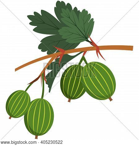 Gooseberry Flat Stem With Leaves Flat Vector Icon