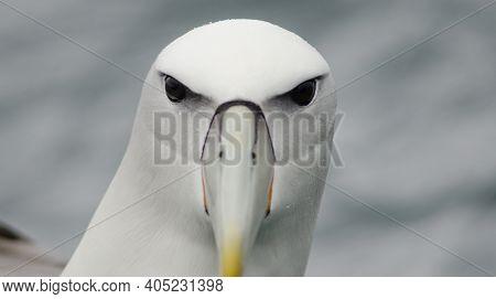 White-capped Albatross Thalassarche Cauta Steadi. Stewart Island Offshore. New Zealand.