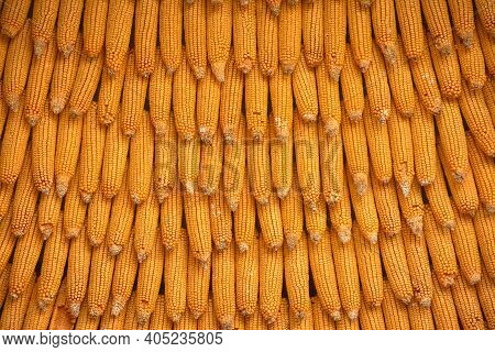 Corn Texture? Background From Corn. Top Quality Orange Maize With Large Maize Form