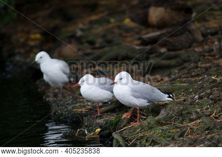 Red-billed Gulls Chroicocephalus Novaehollandiae Scopulinus. Queens Park. Invercagill. South Island.