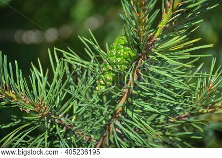 Green Pinecone Hanging On A Pine Branch. An Unripe Pine Cone, Closeup Young Green Pine Cone