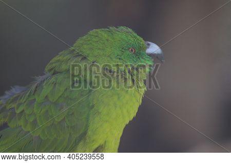 Antipodes Parakeet Cyanoramphus Unicolor Calling. In Captive Conditions. Te Anau Bird Sanctuary. Te