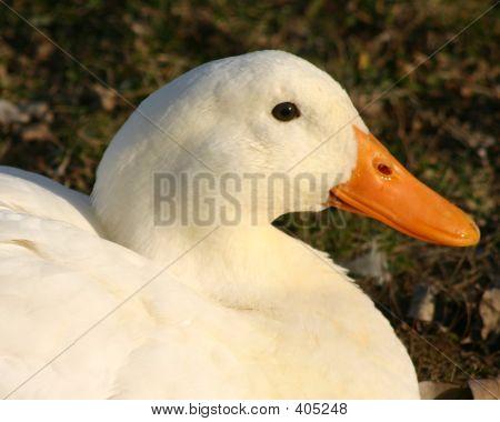 Domestic White Duck 2