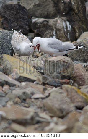 Red-billed Gull Chroicocephalus Novaehollandiae Scopulinus Regurgitating Food To Its Chick. Pilots B