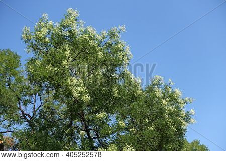 Numerous White Flowers In The Leafage Of Sophora Japonica Tree Against Blue Sky In August