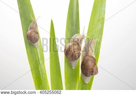 Grape Snail Crawling On Green Leaves. Mollusc And Invertebrate. Delicacy Meat And Gourmet Food. Rela