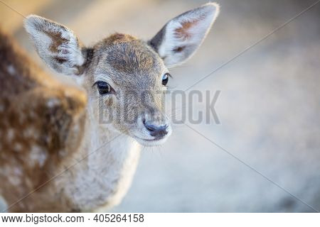 White-tailed Deer Fawn In Zoo, Baby Deer In Zoo