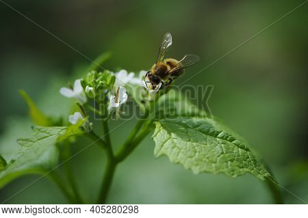 Honey Bee, Spring Background. A Bee Drinks Nectar From A Flower. Green Leaves And Small White Forest