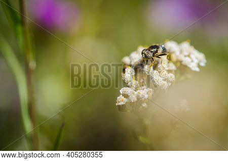 Horsefly With Beautiful Eyes, Tabanidae On A Wildflower, Silvius Gigantulus. The Gadfly Sat On The F
