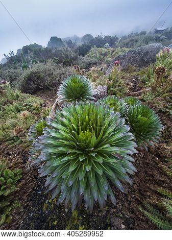 Lobelia Deckenii - High Altitude Moorland Zones Unique Plant.  It Is A Giant Lobelia Endemic To Moun
