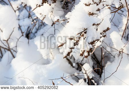 Snowy Twig Of Hedge Close Up In Village In Cold Sunny Winter Evening (focus On Twig On Foreground)