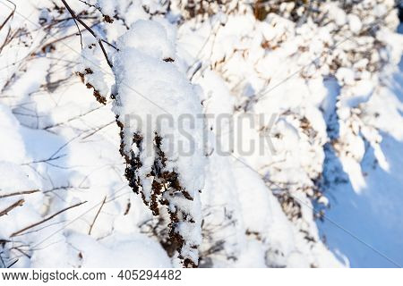 Snow-covered Twig Of Hedge Close Up In Village In Cold Sunny Winter Evening (focus On Twig On Foregr