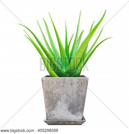 Aloe Vera Plant In Pots, Aloe Vera Leaf, Aloe Vera On Cement Pot Isolated On White