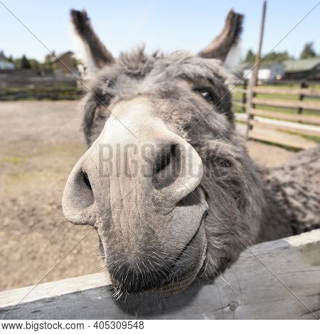 Cute Grey Donkey Snout On The Farm Behind Wooden Fence. Sad Shy Gray Donkey On A Farm. Mule And Wood