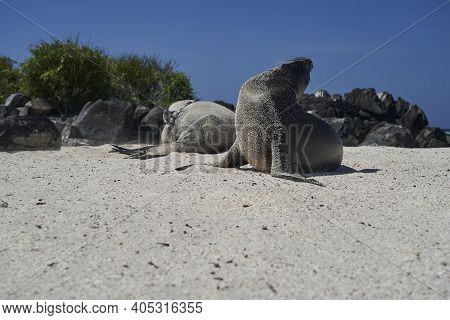 Galápagos Sea Lion, Zalophus Wollebaeki, Smallest Sea Lion Species. Sea Lion Sun Bathing Lying On Th