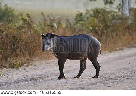 South American Tapir, Tapirus Terrestris, Also Called Brazilian, Amazonian, Maned, Or Lowland Tapir,