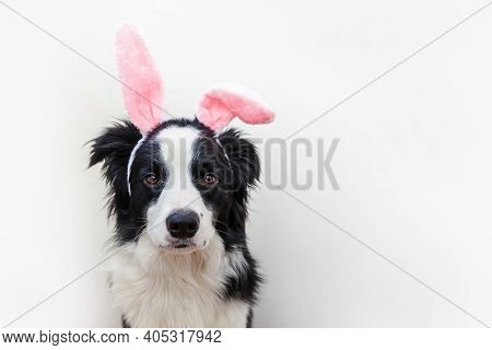 Happy Easter Concept. Funny Portrait Of Cute Smiling Puppy Dog Border Collie Wearing Easter Bunny Ea