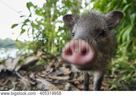 Portrait With Shallow Depth Of Field And Blurry Snout Of A Cute Little Young Wild Boar Being Nosy In