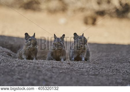 3 Cute Little Degus, Octodon, Octodontid Rodents Native To South America. Group Of Degu Sitting At T